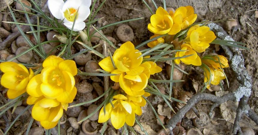 crocus, spring
